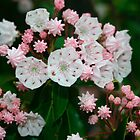 Mountain Laurel by Annlynn Ward