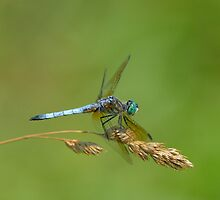 Blue Dasher by Heather Pickard