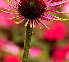 COLORS OF SUMMER..ECHINACEA by RoseMarie747