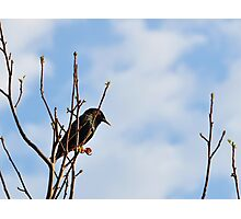 A Starling For Mozart Photographic Print