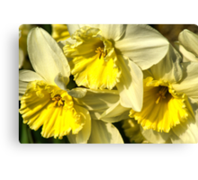 Yellow, Frilly, Daffys Canvas Print