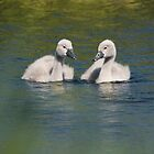 Cygnets by Nigel Tinlin