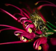 """Bee on Grevillea rosemarinifolia"" - Stanthorpe - Qld by Ohlordi"