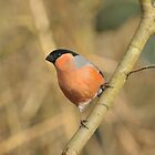 A wonderful Bull Finch by cameravan1