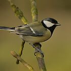 Here we have a wonderful Great Tit by cameravan1