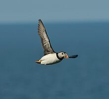 A Puffin in Flight by cameravan1