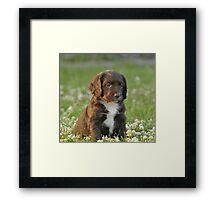 A Field Working Cocker Spaniel Pup - Fudge Framed Print