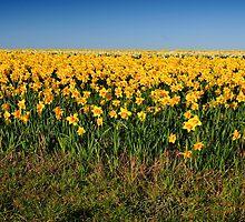 Field of Daffodils  by AlanPee