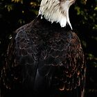 American Bald Eagle. by capturewill