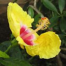 Yellow hibiscus by hummingbirds
