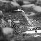 Grey Heron Fishing by Nigel Tinlin