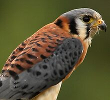 American Kestrel Profile by Mark Hughes