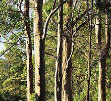 Gum Trees In The Avo Sun by aussiebushstick