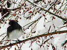 Dark Eyed Junco by Marcia Rubin