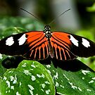 Heliconius Butterfly by Sue Ratcliffe
