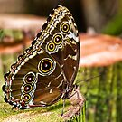 Blue Morpho Butterfly by Sue Ratcliffe