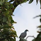 Pretty Pigeon - Mandeville, Jamaica by Allie Ludvigson