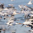 """Flying Wings"" - shore birds flying by John Hartung"