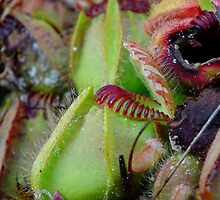 Albany Pitcher Plant - Northcliffe WA  by Wendy Eiby