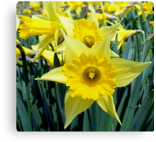Spring means Daffodils Canvas Print