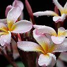 Pink Frangipani in the Rain by aussiebushstick