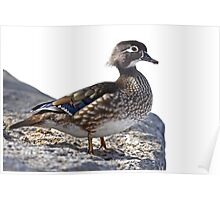 Duck on the rocks Poster