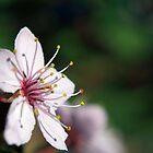 Pink Cherry Blossom_3 by Krystal Cunningham