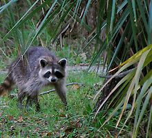 Raccoon in palmettos by Ben Waggoner
