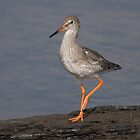 Redshank by Nigel Tinlin