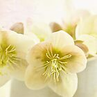 Hellebores in blue jug by inkedsandra