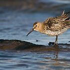 Dunlin by Nigel Tinlin