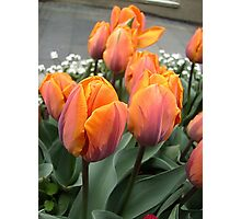 Arrived tulips Photographic Print