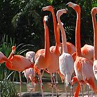 Flamingos at San Diego Zoo - Which Way Did He Go? by Phil Roberson