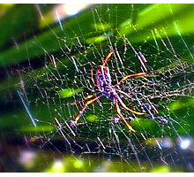 St Andrew's Cross Spider2. Photographic Print