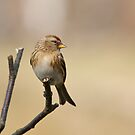 Redpoll 1 by Richard Bowler