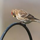 Redpoll 2 by Richard Bowler