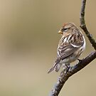 Redpoll 3 by Richard Bowler