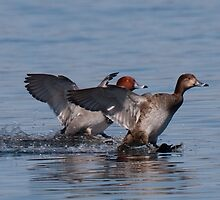 Red-Headed Duck Duo Landing - Presqu'ile, Ontario by Stephen Stephen
