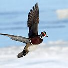 Wood Duck Drake Flight III by Gary Fairhead