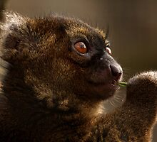 Greater Bamboo Lemur – Critically Endangered by Mark Hughes