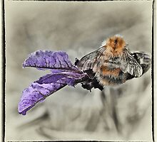 BUMBLE ON LAVENDER by clint hudson