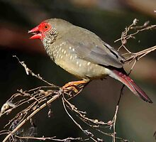 Star Finch - Northern Territory. by Alwyn Simple