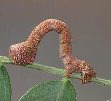 Looper Moth Caterpillar by KiriLees