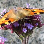 Butterfly at Bovey Castle by Janice Petitjean