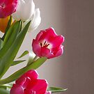 Tulips by OlaG