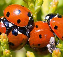 Ladybirds  by Geoff Carpenter