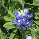 Texas Bluebonnet with Leaves - Austin, Texas by Navigator
