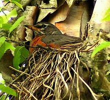 Robin on the Nest by Laurel Talabere
