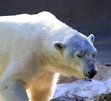Polar bear by pmarella