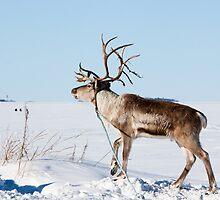 Reindeer by Nnebr